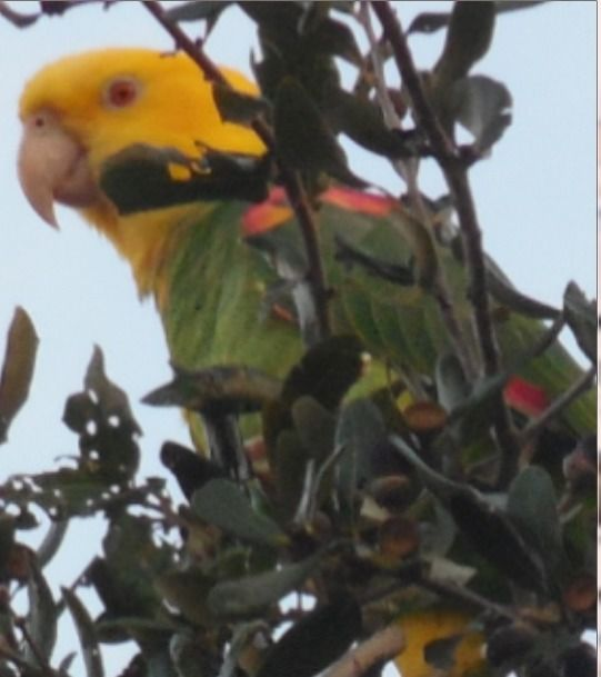 Wild Parrot eating acorns - jerdub | ello