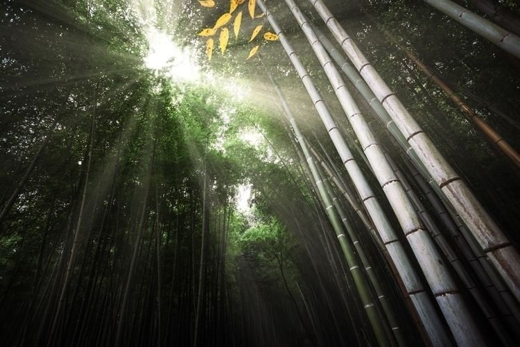 Sunlight bamboo forest - ellophotography - tristanlb | ello