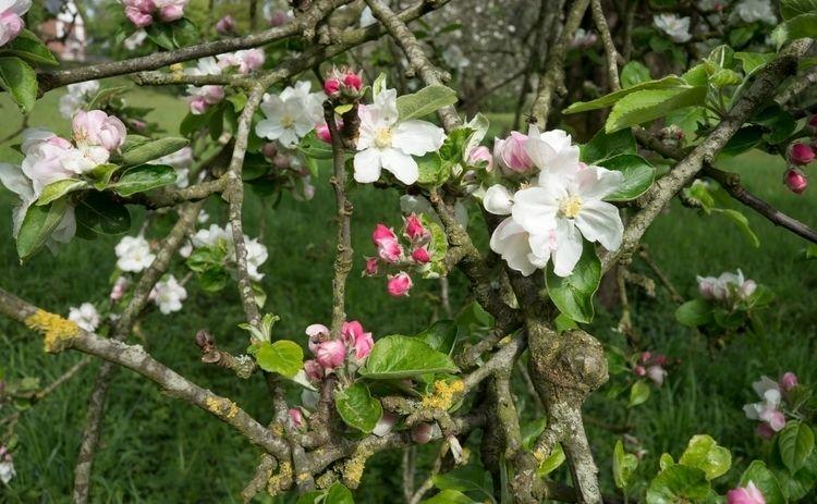 Pommiers en fleurs dans le vill - gclavet | ello