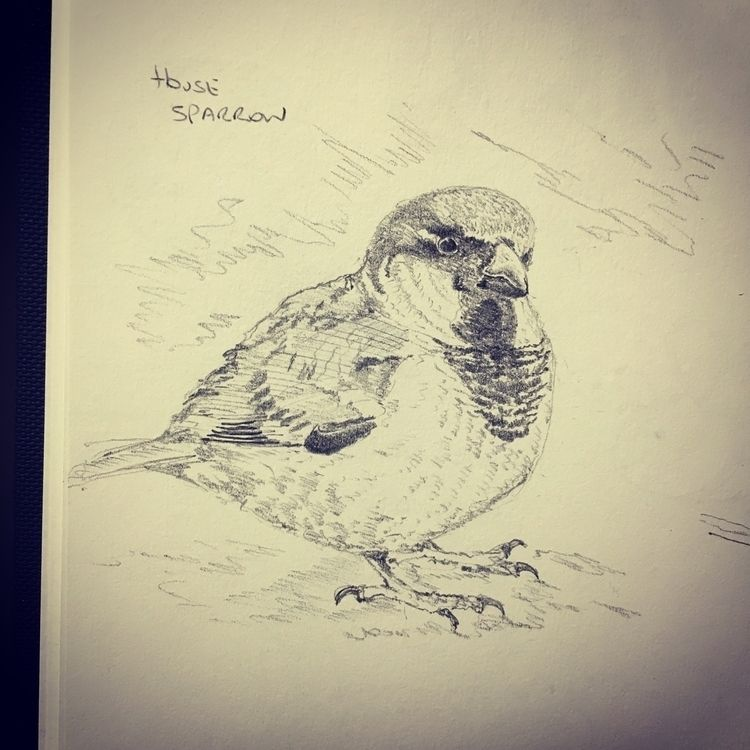 2 ? House Sparrow - illustration - mtncycle | ello