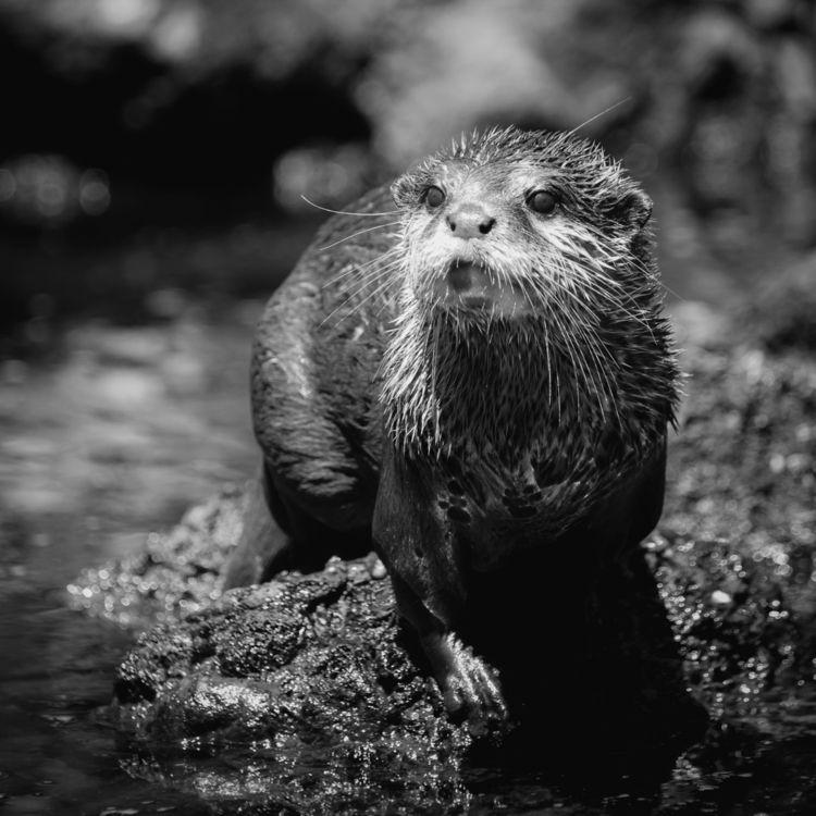 Otter - blackandwhite, bnw, photography - roelvdw | ello