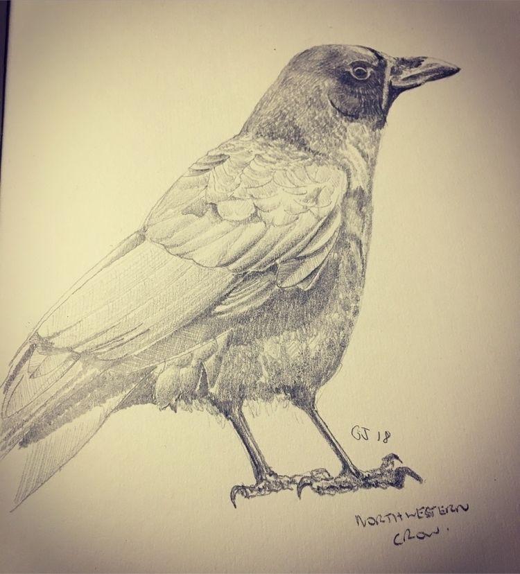 13 ? Northwestern Crow - illustration - mtncycle | ello