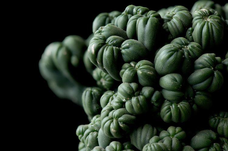 Ming love structure cactus. (Ce - rhinocerous   ello