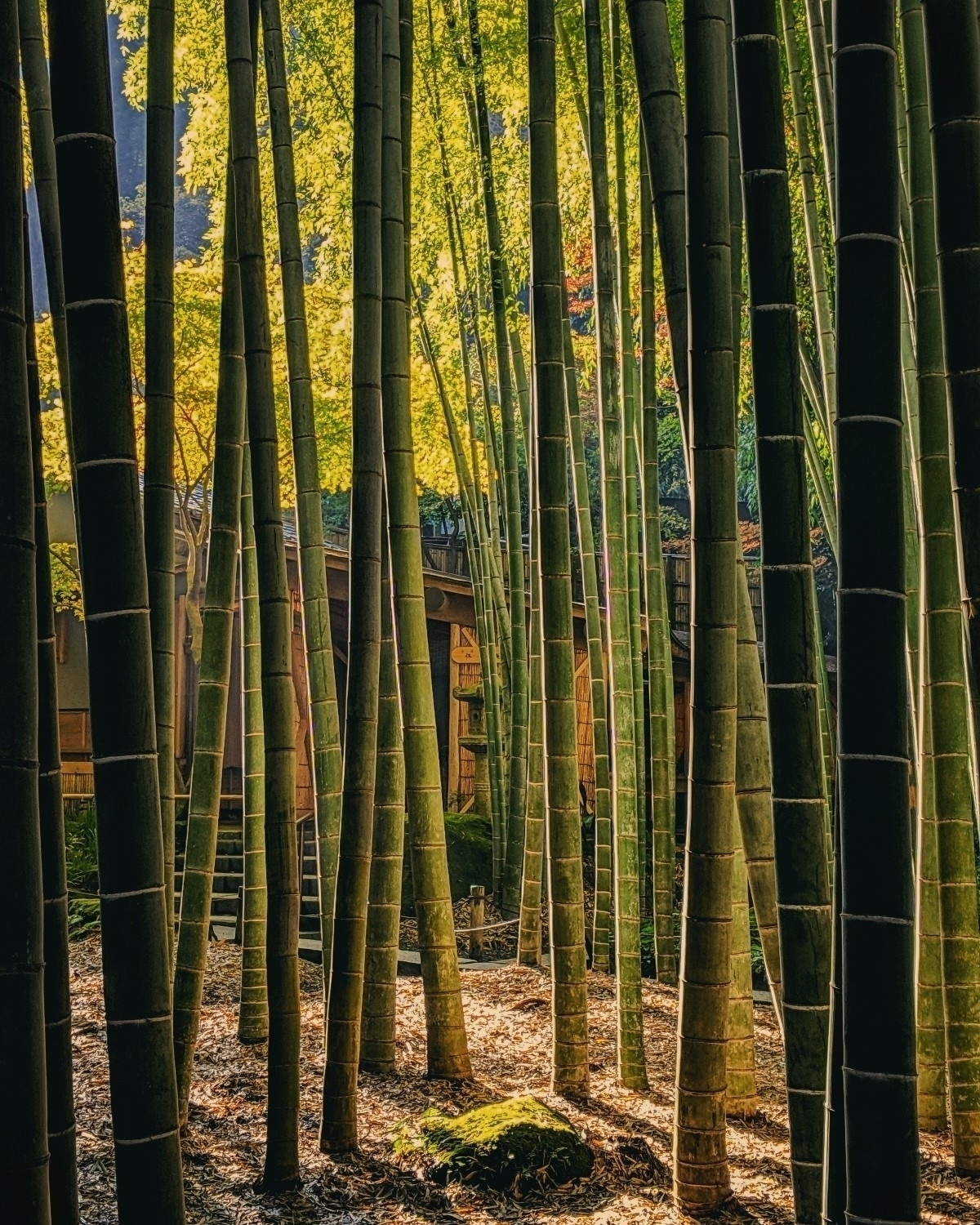 teahouse trees, bamboo accurate - fokality | ello
