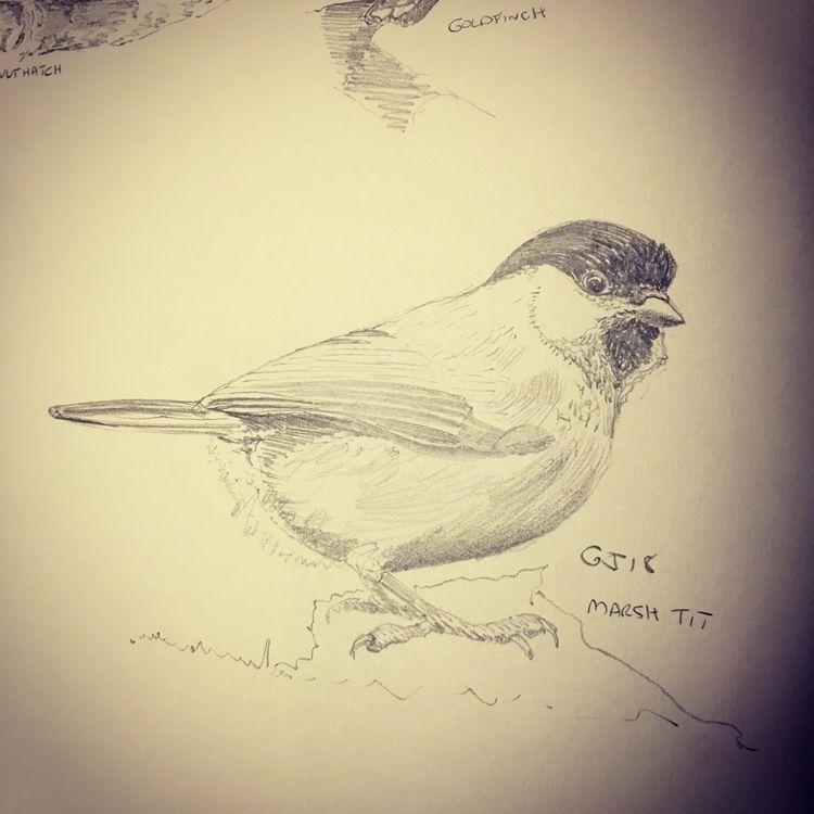 18 ? Marsh Tit - illustration, sketch - mtncycle   ello