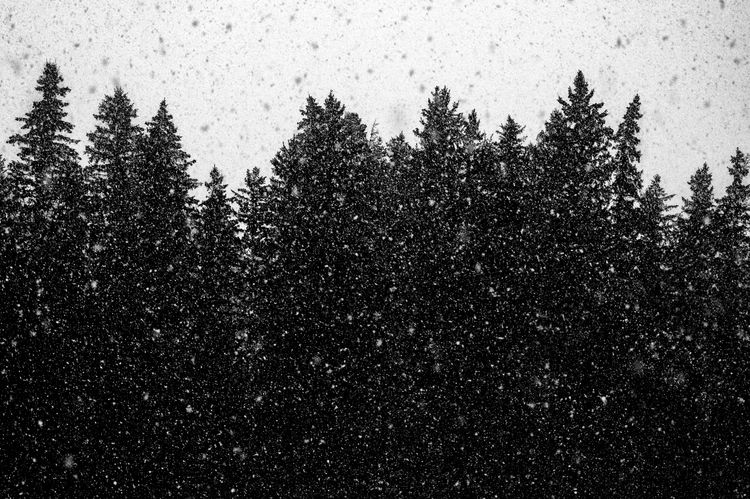 Squall Goals spruces - bnw, bw, blackandwhitephotography - jeff_day | ello