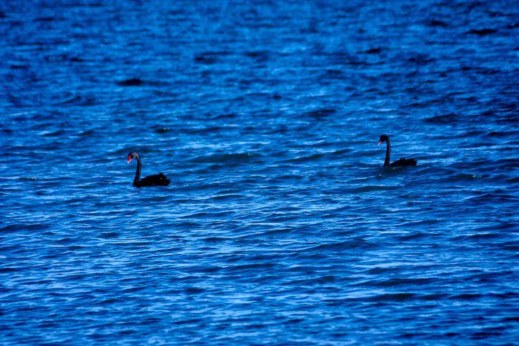 black swan theory - sacrecour | ello