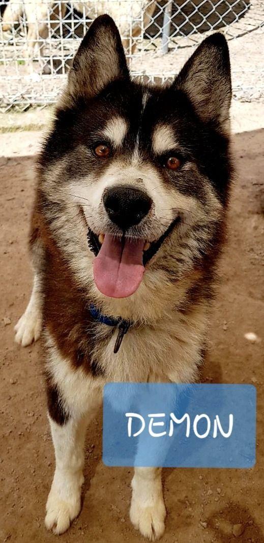 Adopt Demon - male samoyed sibe - red_wolf   ello