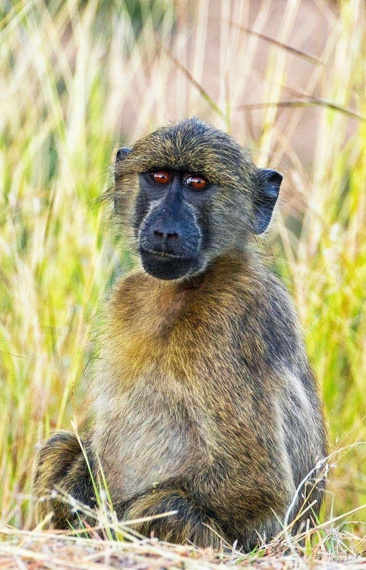 Babouin chacma Kruger National  - imeldouze | ello