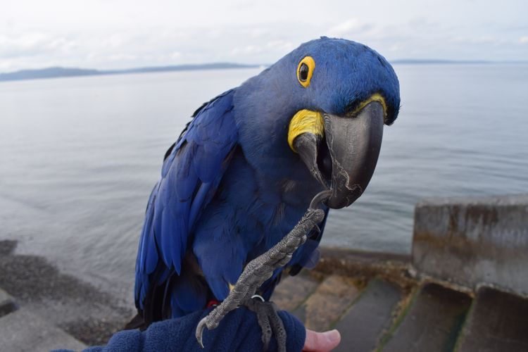 High Hyacinth Macaw Princess Ta - michaelostrogorsky | ello