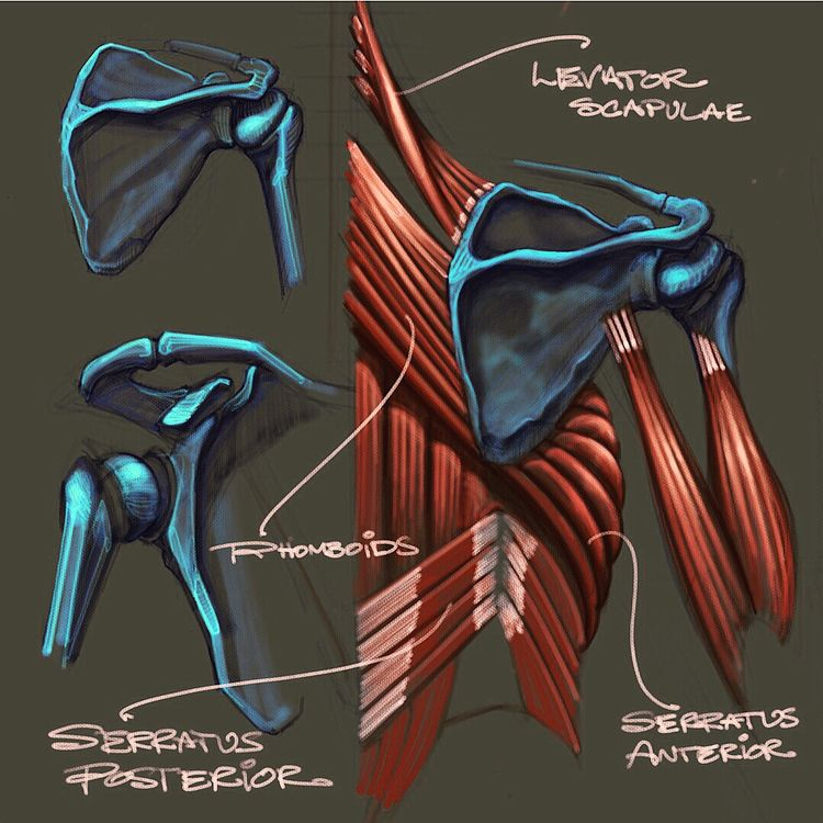 Anatomy Chalk Art -Muscles invo - creationstationart   ello