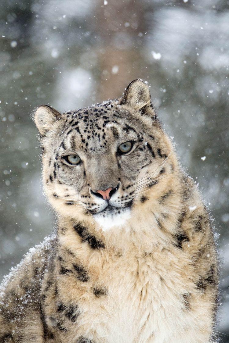 Léopard des neiges Zoo de Granb - imeldouze   ello