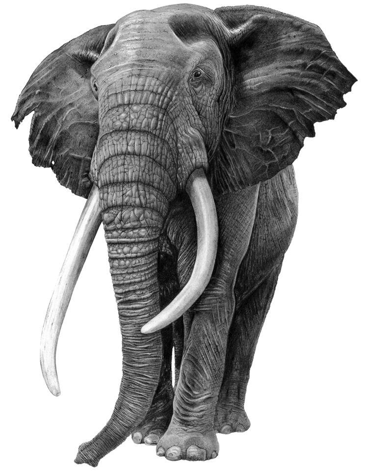 Bull Elephant, Pencil Shading i - sean-fleming | ello