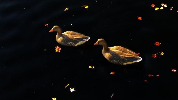 photo called Autumn Geese. brid - okhismakingart | ello