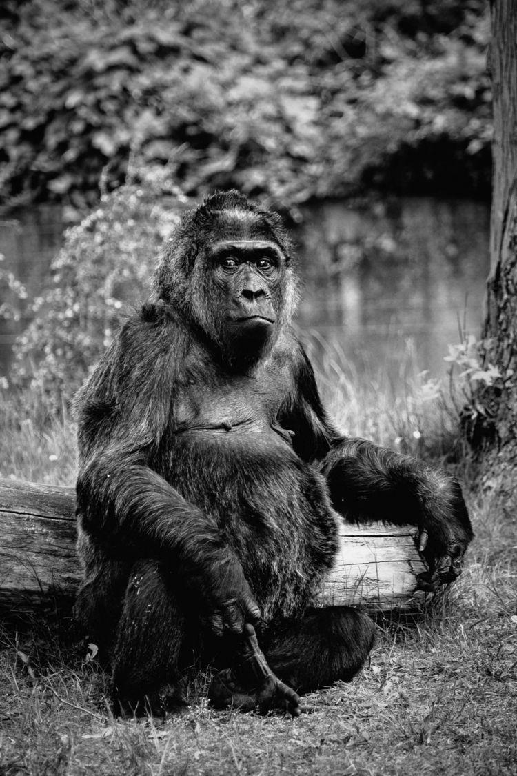 Gorille des plaines de Zoologis - imeldouze | ello