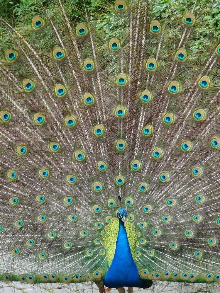 Peacocks boring - peacock, zoo, riga - emvdelen | ello