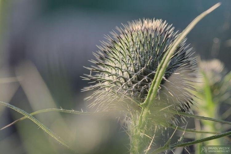 Cirsium Vulgare (Spear Thistle - pawelwiesyk | ello