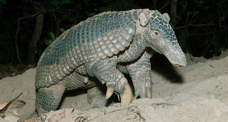 GaintArmadillos Giant armadillo - hunterhunts | ello