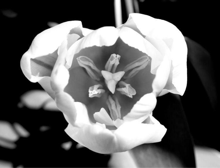 Anatomy Tulip - katemoriarty | ello
