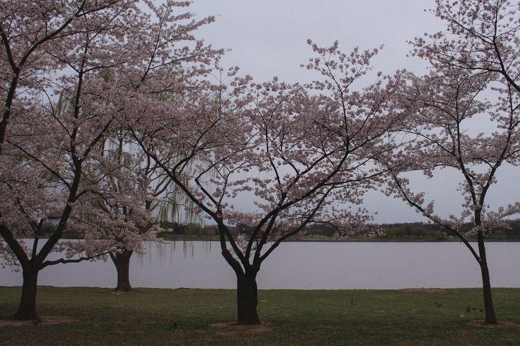 bloom - cherryblossom, spring, washingtondc - graceauden | ello