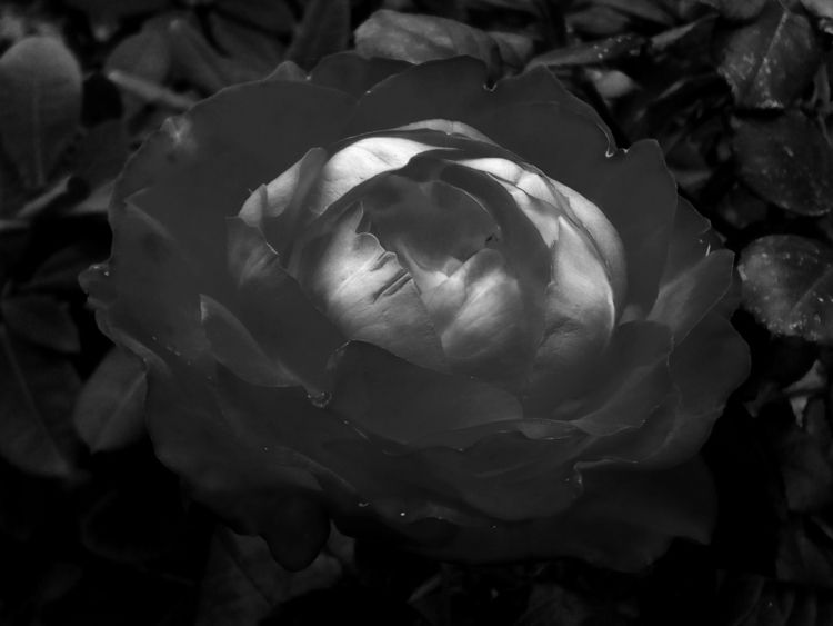Rose. Alternative vision - photo - igenvoicov | ello