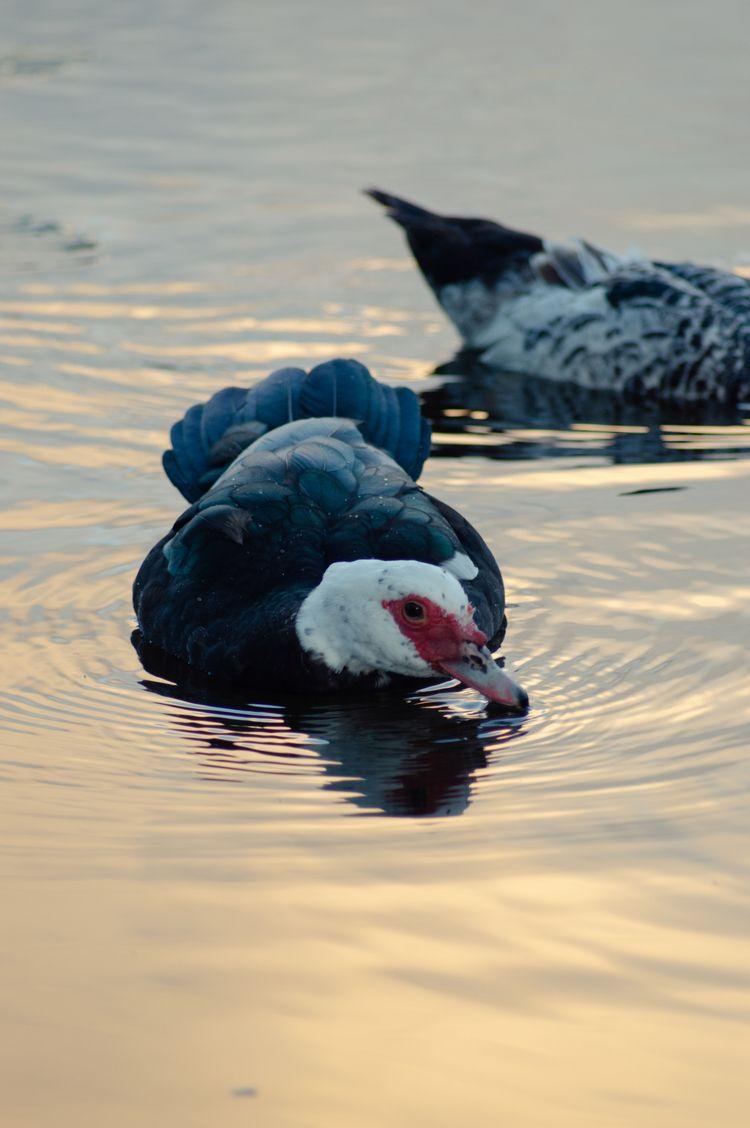 duck wades canal South Florida - cinderblast | ello
