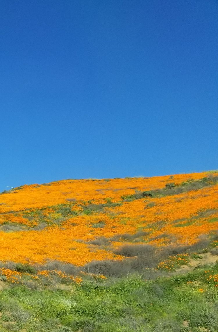 California poppies Lake Elsinor - nora_ | ello