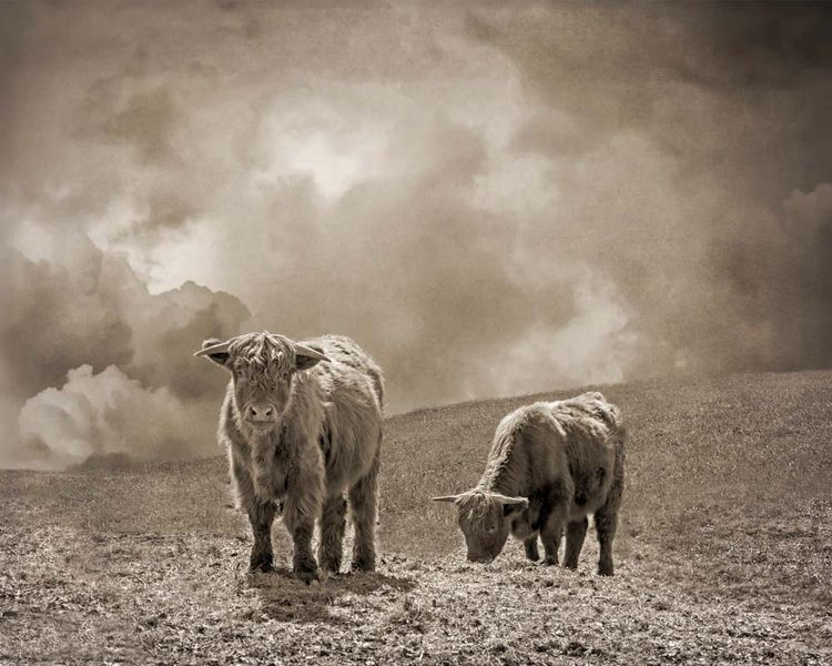 Scottish Highland Cattle, 2 - P - brookeryan | ello