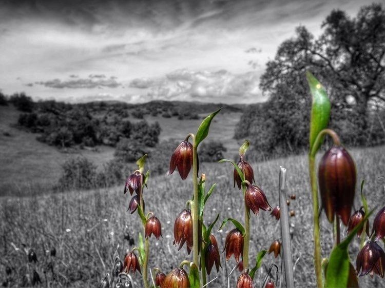 chocolate lilies lens - photography - d_nodave | ello