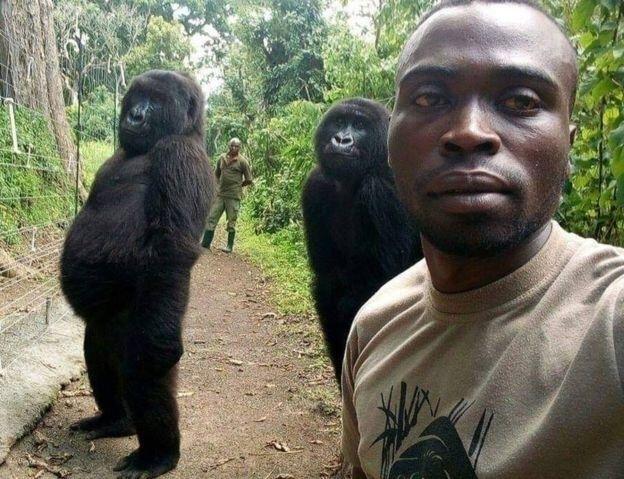 gorillas photographed posing re - laurabalducci | ello