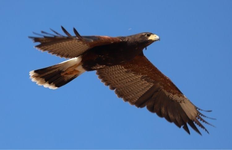 harris_hawk, raptor, birds_of_prey - bamps | ello