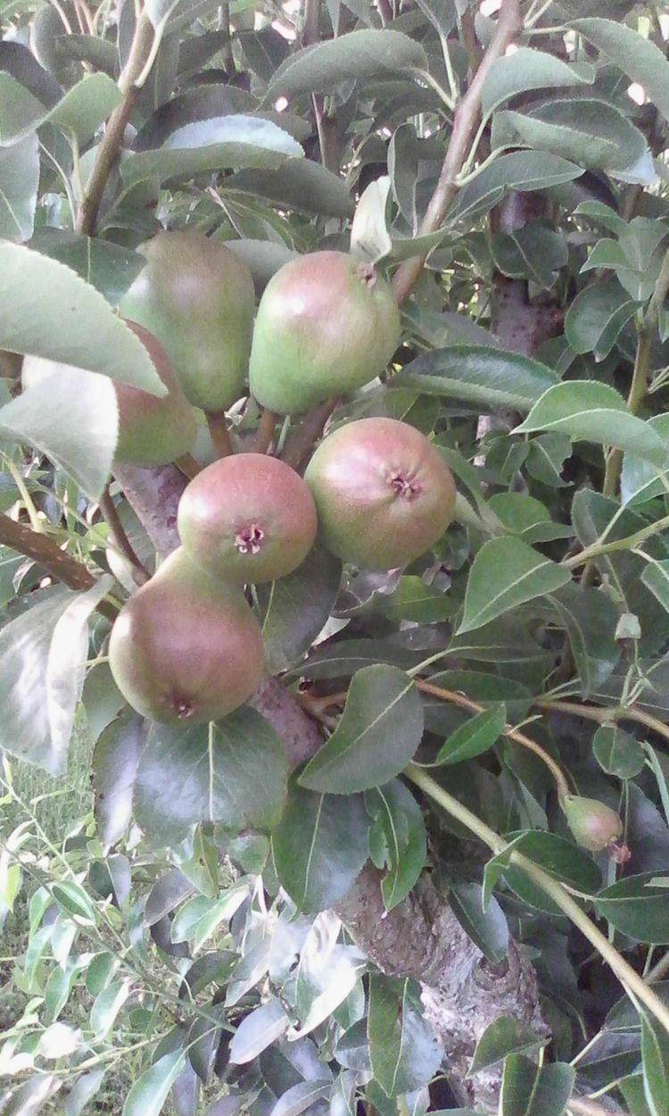 Pears growing - naibafol   ello