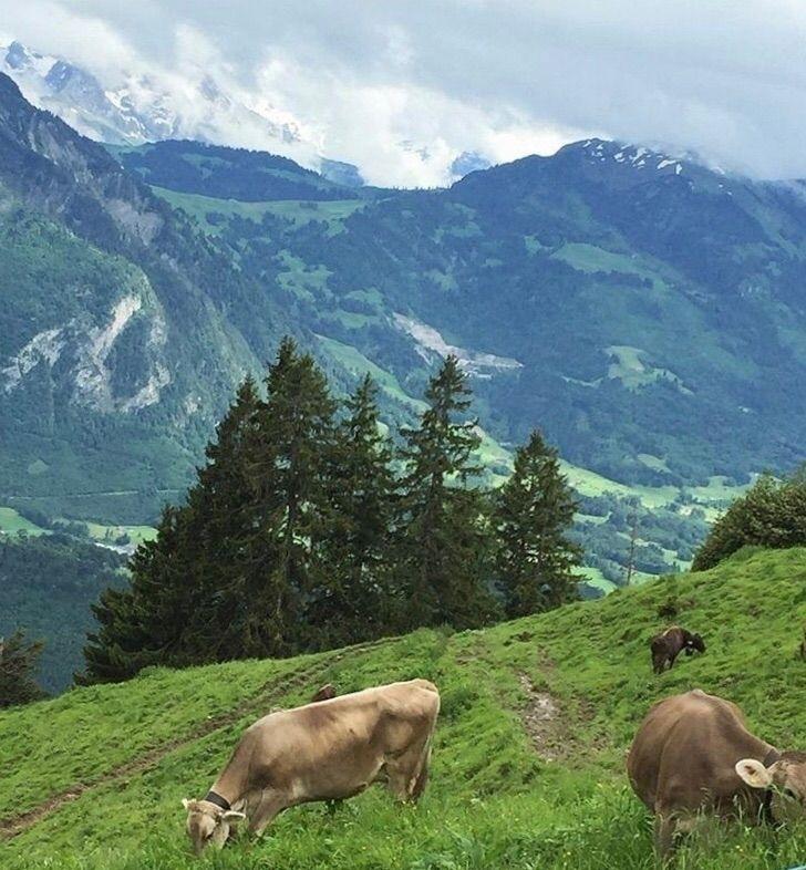 Switzerland, Swiss Alps - cows, nature - carissacarolann   ello