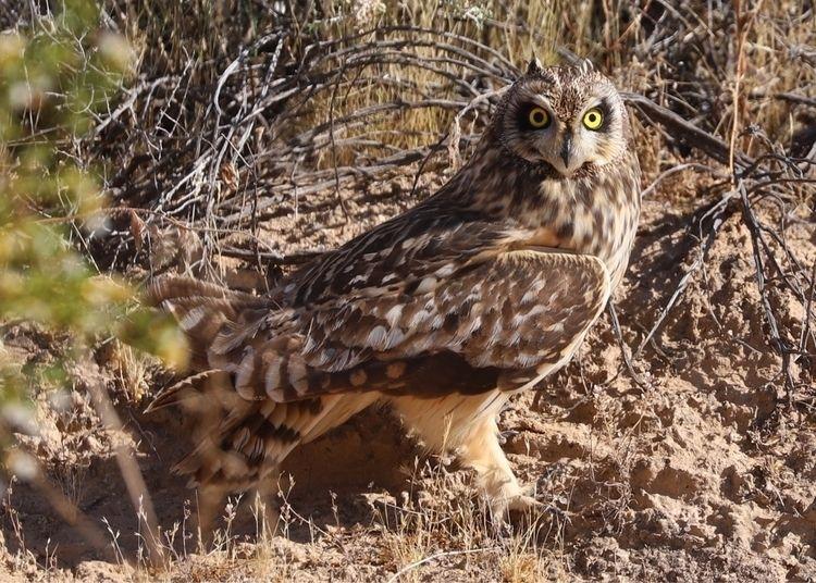 owl, raptor, wildlife, birds_in_the_wild - bamps | ello
