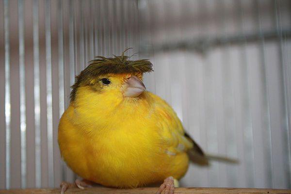 Dirty Bird. Donald Trump Canary - ccruzme | ello