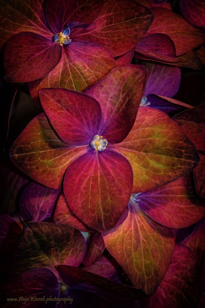 Hortensia – Hydrangea Een nieuw - anjawessels | ello
