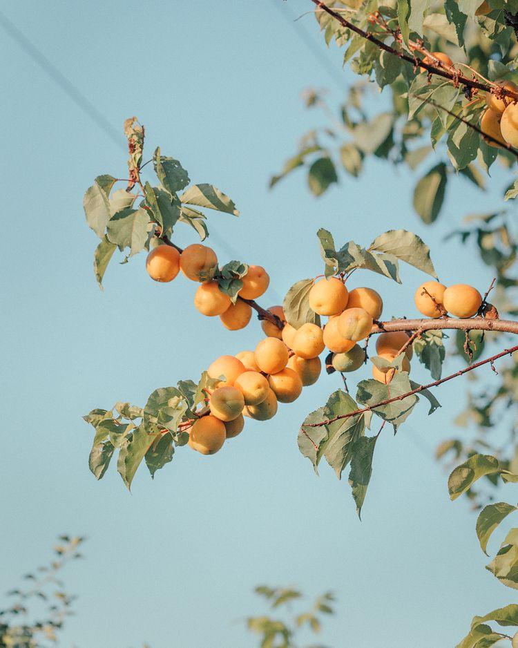 apricot tree backyard, June 201 - alinatrifan | ello