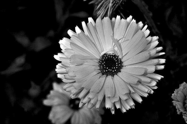 Botanical Monochrome 7063 - flowerphotography - dorian-stretton   ello