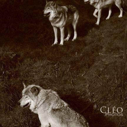 Les loups. Nord du Québec. Phot - cleophotos | ello