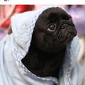 pugs  (@italkaboutrealshit) Avatar