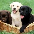 cane corso puppies (@canecorsopuppy) Avatar