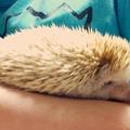 komari(hedgehog),wasabi(sugerglider) (@komariwasabi) Avatar