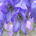 Digital Aconitum (@digitalaconitum) Avatar