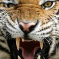 ROCKY-TIGER KING (@rocky-tiger) Avatar