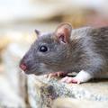 Rat control Brisbane (@ratcontrolbrisbane) Avatar