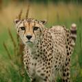 Cheetah (@qomplainerz) Avatar