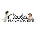 Cindys Havanese (@cindyshavanese) Avatar