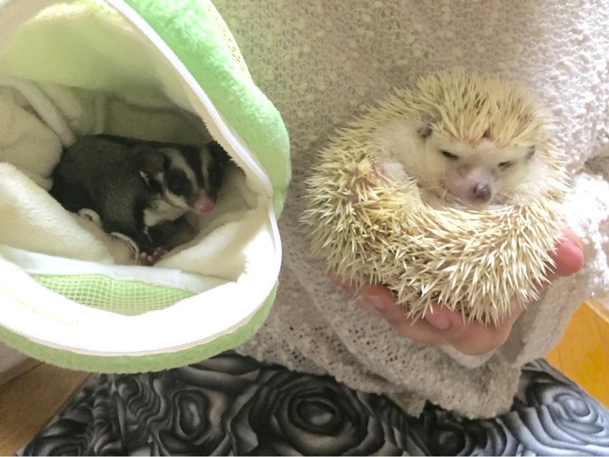 komari(hedgehog),wasabi(sugerglider) (@komariwasabi) Cover Image