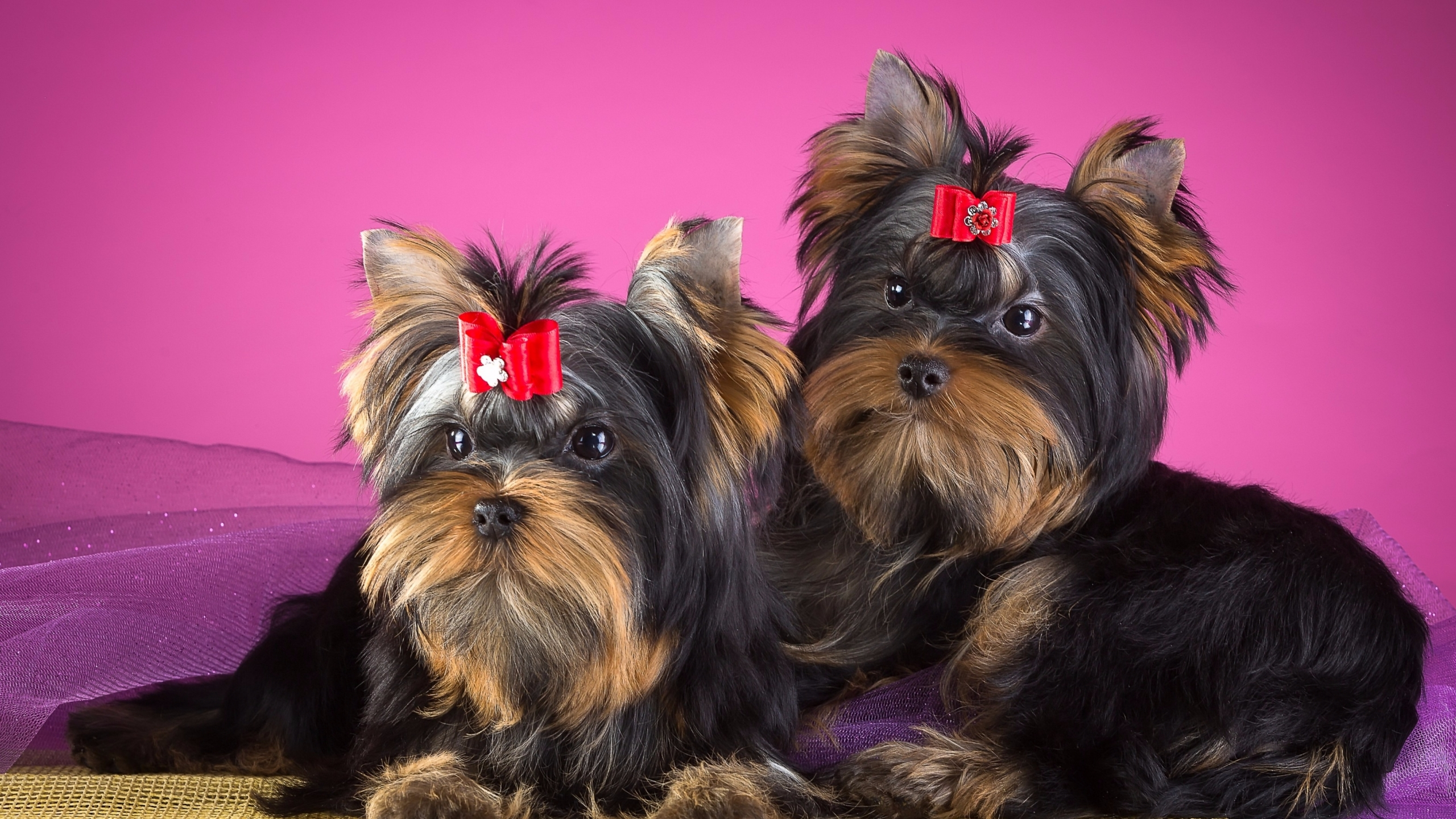 Yorkshire Terrier Club (@yorkshireterriers) Cover Image