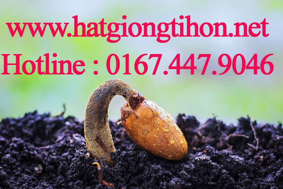 hatgiongtihon (@hatgiongtihon) Cover Image